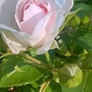 rosa e bocciolini